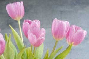 tulips-1352561_640